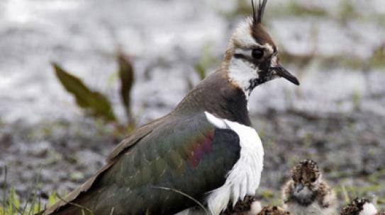 Artikel over weidevogelbeheer